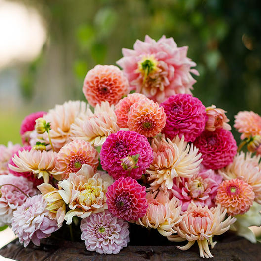 Dahlia-Tender-Mix-1_medium
